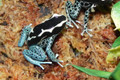 Powder Blue Dart Frogs for sale (Dendrobates tinctorious)