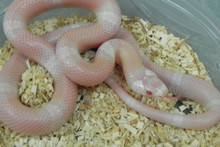 Snow Honduran Milk Snakes for sale