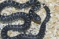 Speckled King Snake for sale