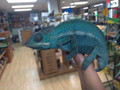 Nosy Be Panther Chameleon for sale