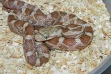 Lavendar Black Rat Snake for sale