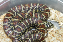 High Red Brooks King Snake for sale