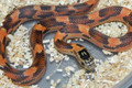 Goins King Snake for sale (Lampropelitis getula goini) - Blaze Blotched