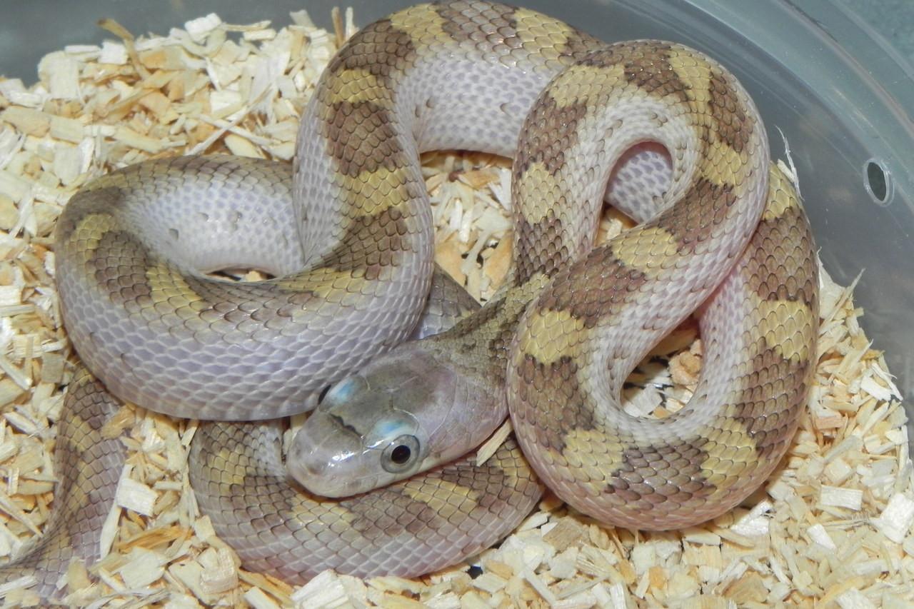 White Sided Black Rat Snake for Sale (Elaphe o  obsoleta)