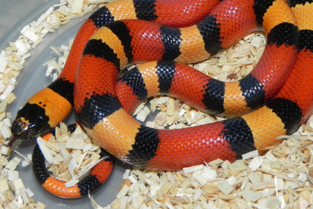 без фото змеи королевская змея вкусный маринад для