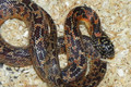 Jungle Abberant Goins King Snake for sale