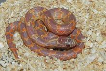 Albino Mosaic Florida King Snake for sale