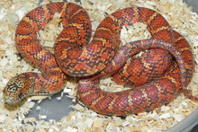 Hypo Brooks King Snakes for sale