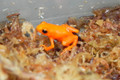 Golden Mantella for sale