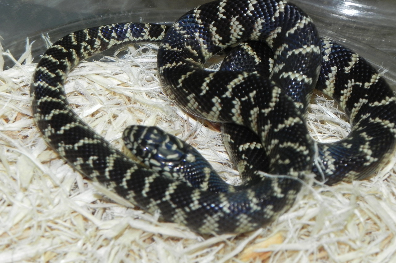 Florida King Snake for sale ( Lampropeltis getula floridana)