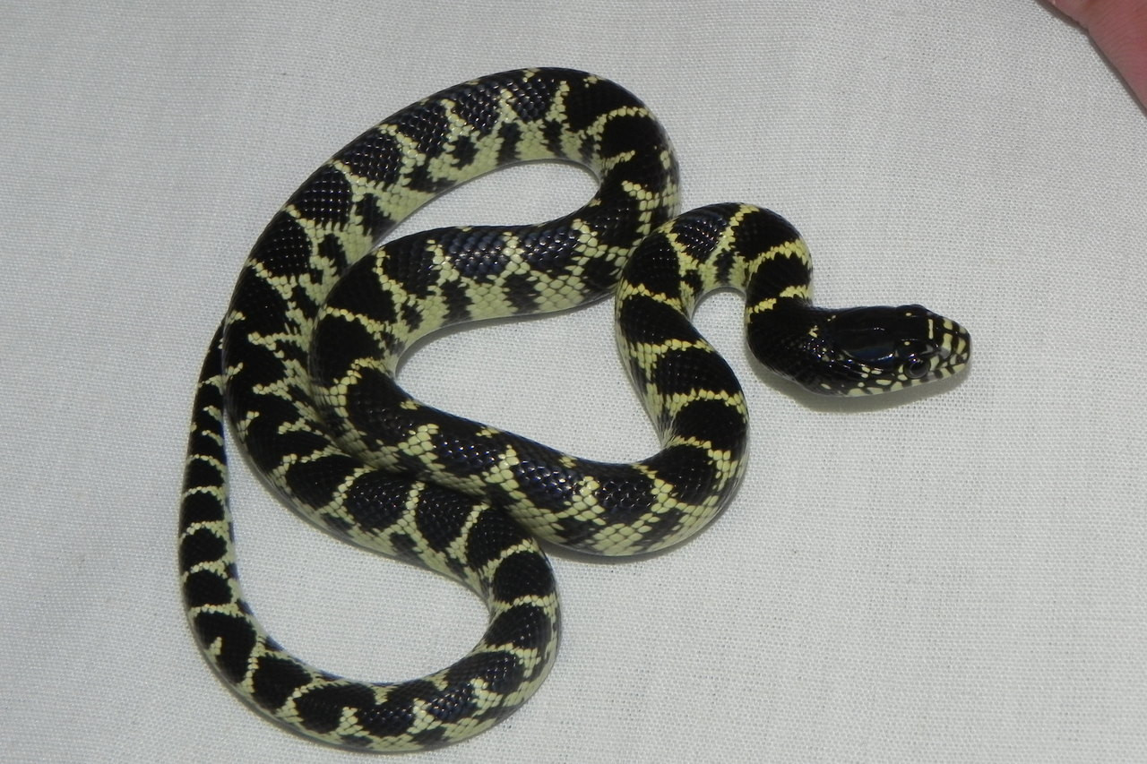 Desert King Snake for sale (Lampropletis getula splendida)
