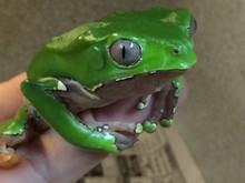 Bicolor Monkey Tree Frog for sale