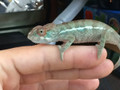 Ambanja Panther Chameleon for sale