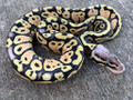 Super Pastel Ball Python for sale