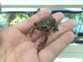 Tree Frog for sale