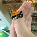 Orange Splash Back Dart Frogs for sale