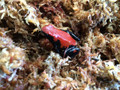 Red Splash Back Dart Frogs for sale