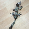 Giant Leaf Tail Gecko for sale | Snakes at Sunset