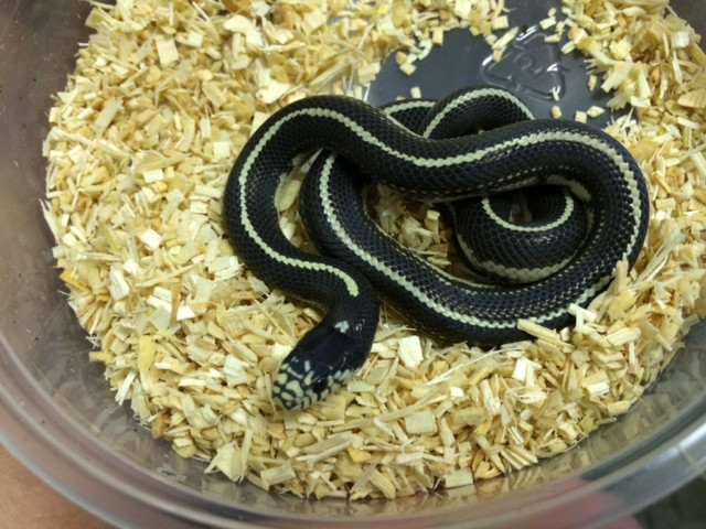 California King Snake for sale (Lampropeltis getula) - Desert Striped