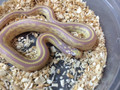 Red Eye Lavender Striped California King Snake for sale | Snakes at Sunset