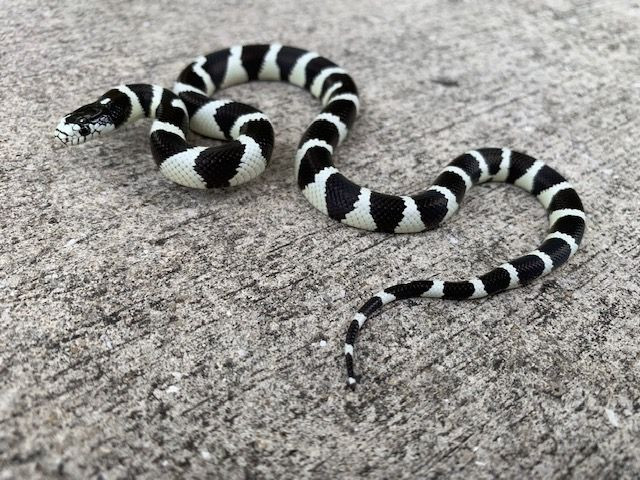 California King Snake for sale (Lampropeltis getula) - Desert Banded Black  n White