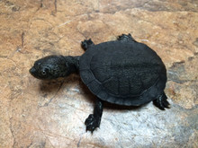 Gibba Sideneck Turtle for sale | Snakes at Sunset