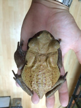 Bufo guttata for sale  - Red Sided Toad for sale | Snakes at Sunset