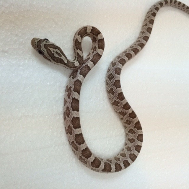 Ghost Corn Snakes for sale (Pantherophis guttata)