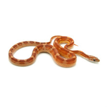 Motley Corn Snake for sale | Snakes at Sunset