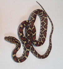 Mexican Rat Snake for sale (Elaphe flavirufa)
