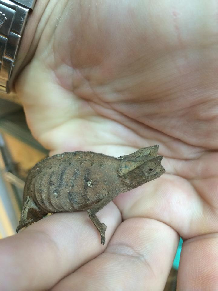 Pygmy Chameleons Brookesia Superciliarus For Sale Snakes At Sunset