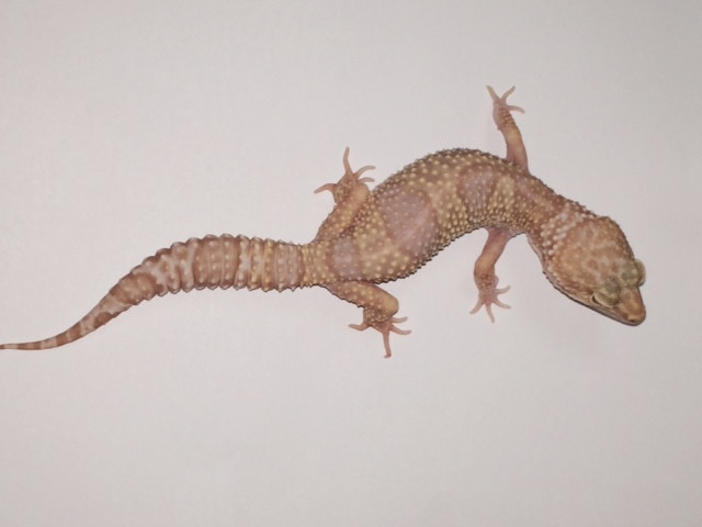 Albino Leopard Gecko for sale (Eublepharis macularis) FEMALES
