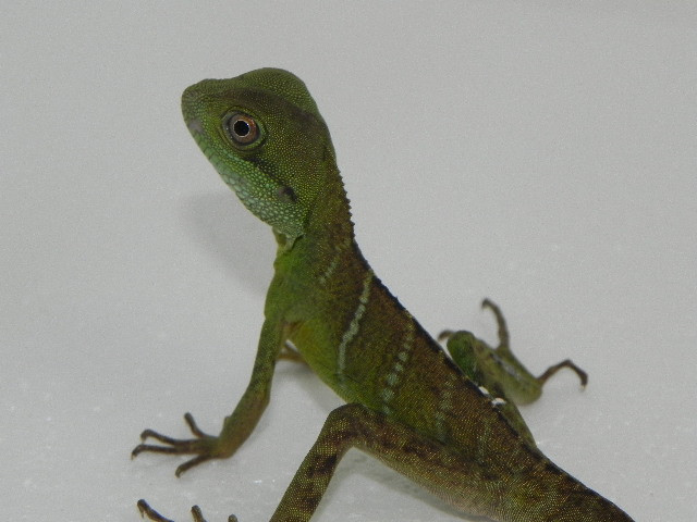 Small Chinese Water Dragon (Physignathus cocincinus)
