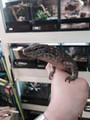 GIANT Plated Lizard for sale | Snakes at Sunset