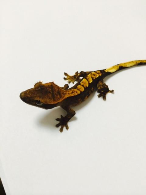 Flame Dalmation Crested Gecko for sale (Rhacodactylus ciliarus)
