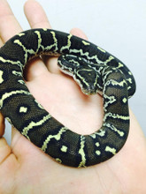 Angolan Pythons for sale