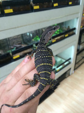 Baby Rough Neck Monitor for sale   Snakes at Sunset