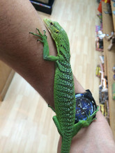 Yearling Green Tree Monitor for sale - female