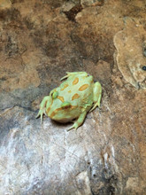 Lime Albino Pac Man Frog for sale | Snakes at Sunset