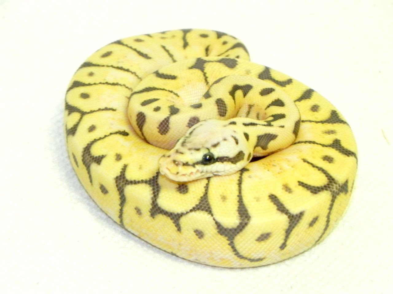 Killer Bee Ball Pythons for sale (Python regius)