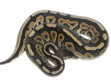 Cinnamon Ball python for sale | Snakes at Sunset