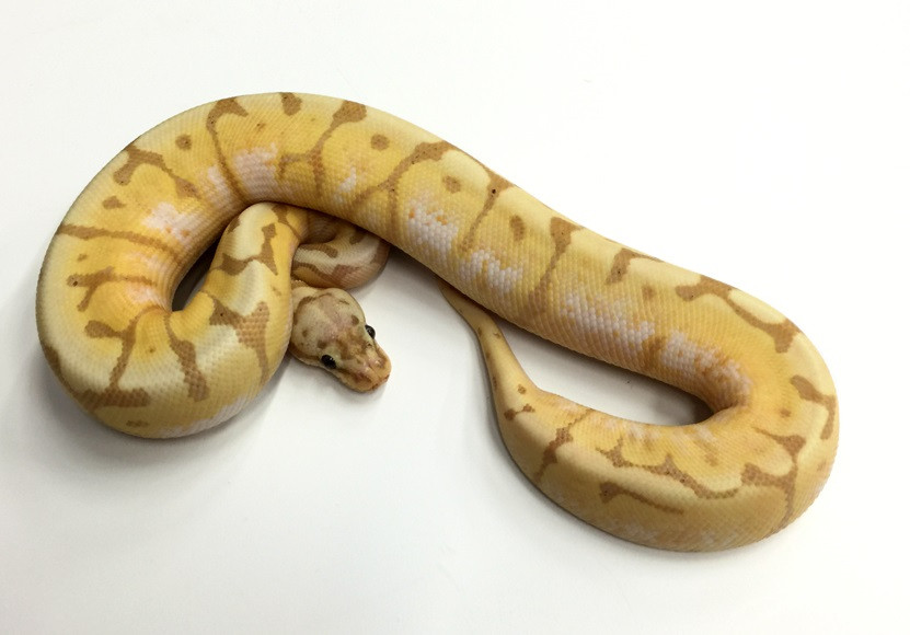 Coral Glow Bumble Bee Ball Python for sale (Python regius)