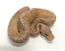 Coral Glow Pewter Ball Python for sale | Snakes at Sunset