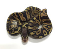 GHI PASTEL Ball Python for sale | Snakes at Sunset
