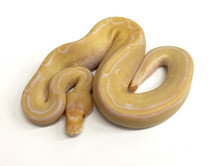 Albino Champagne Ball Python for sale | Snakes at Sunset