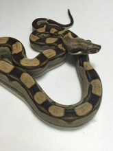 Motley Boas Constrictor for sale | Snakes at Sunset