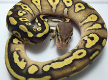 Mojave Pastel Ball Python for sale | Snakes at Sunset