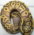 "Pastel Mojave Ghost Ball Python for sale | Snakes at Sunset <a img alt=""TESTING"">"