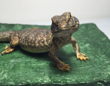 Mali Uromastyx for sale | Snakes at Sunset