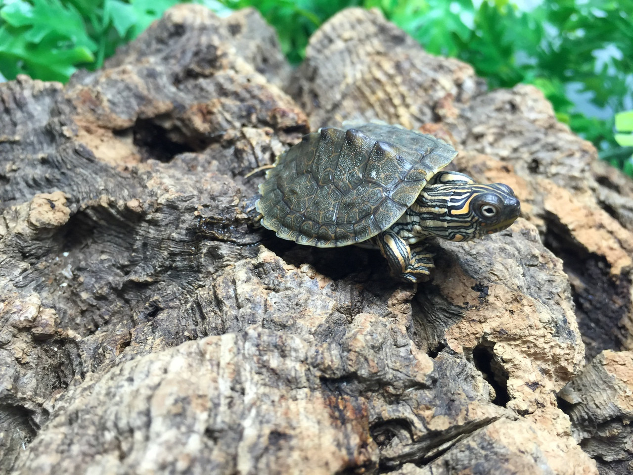 Texas Map Turtles For Sale Snakes At Sunset